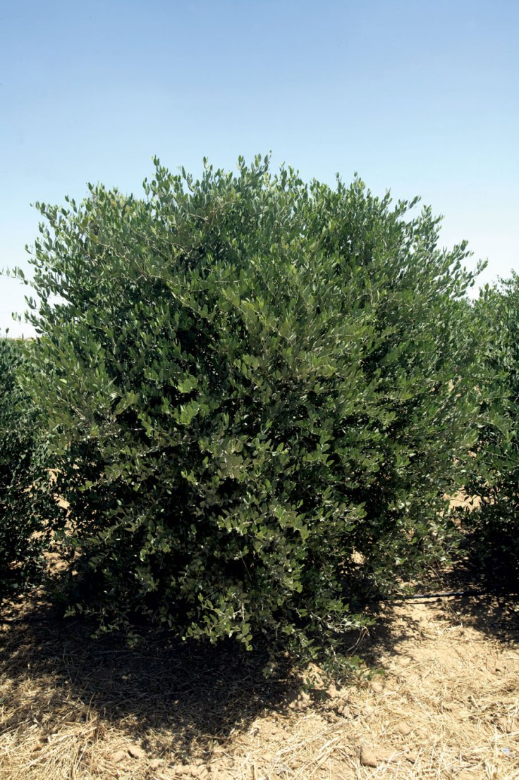 Jojoba-plant-at-the-Desert-Splendour-plantations-at-Kolayat-village,-Rajasthan